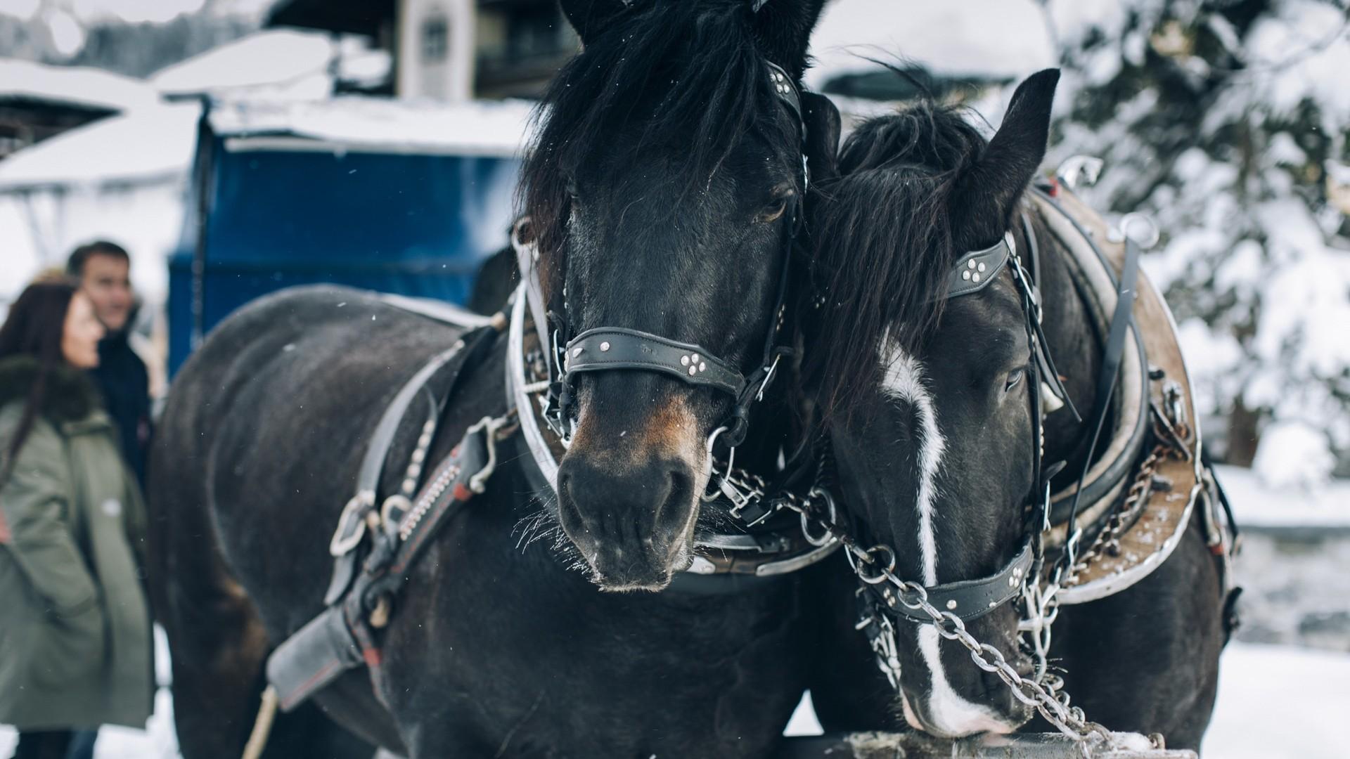 Zwei schöne schwarze Pferde vor einer Holzkutsche in Lech.